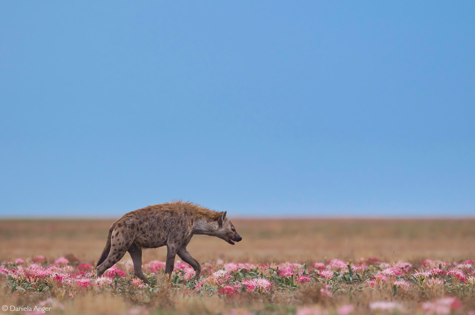 A spotted hyena walks through the plain after the first rains. Liuwa Plain National Park, Zambia © Daniela Anger