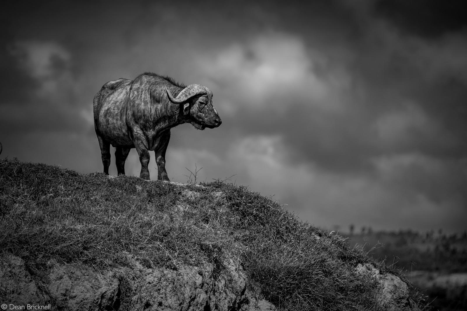 Cape buffalo on the look out. Lake Nakuru National Park, Kenya © Dean Bricknell