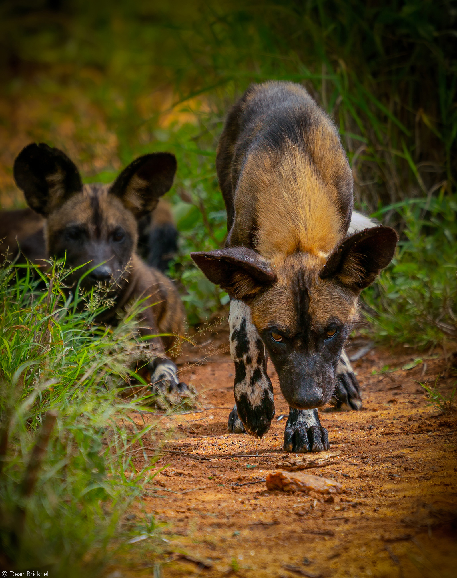 Painted wolves (African wild dogs). Laikipia, Kenya © Dean Bricknell