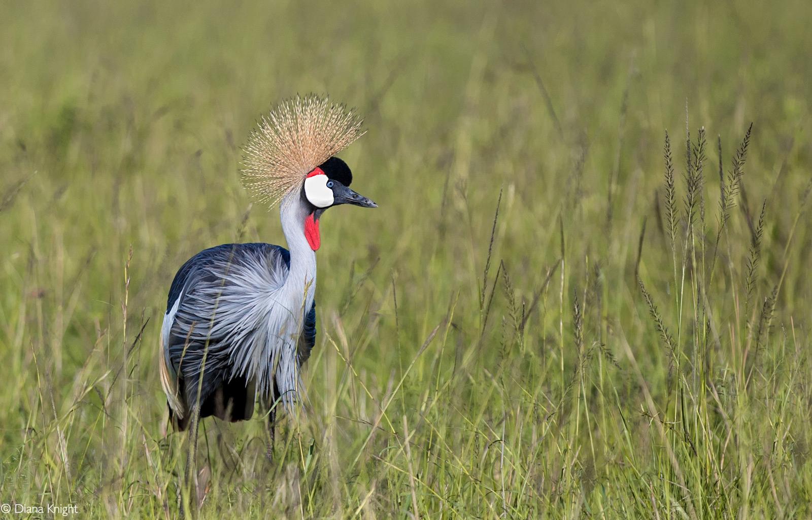 A grey crowned crane. Maasai Mara National Reserve, Kenya © Diana Knight