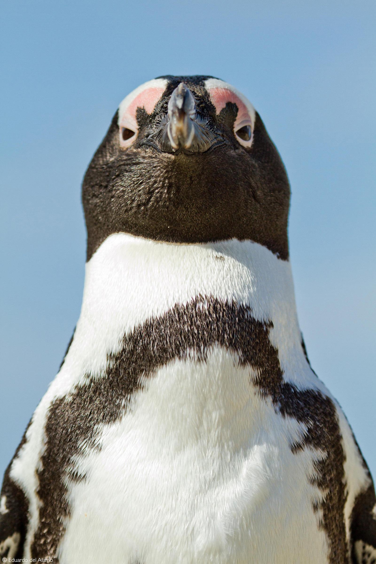 An African penguin. Betty's Bay, South Africa © Eduardo del Alamo