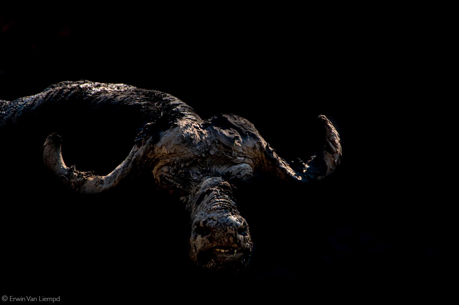 A muddy buffalo in the dying light of the day. Savuti, Botswana © Erwin van Liempd