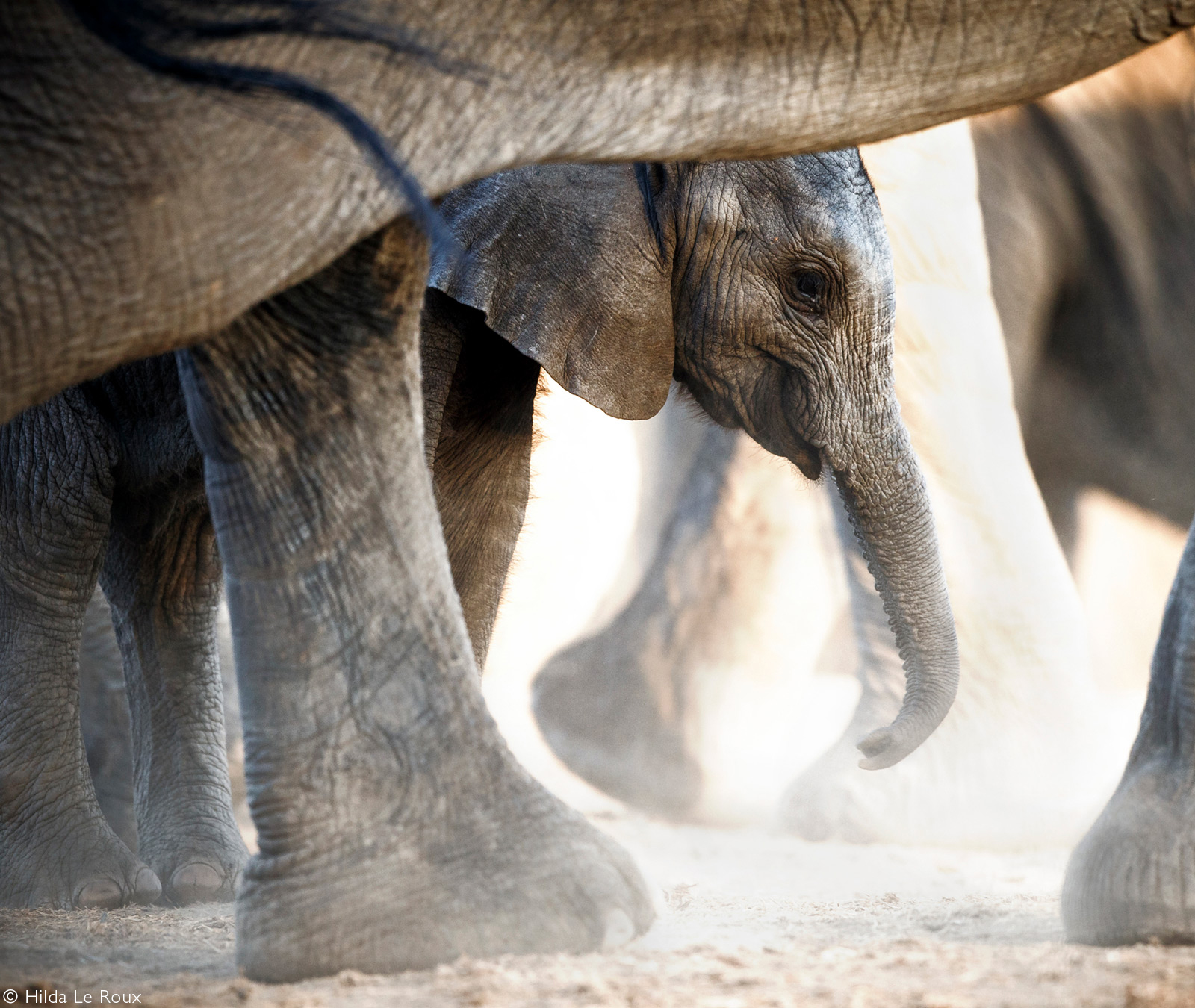Thirsty elephants come to drink at a waterhole. Kruger National Park, South Africa © Hilda Le Roux