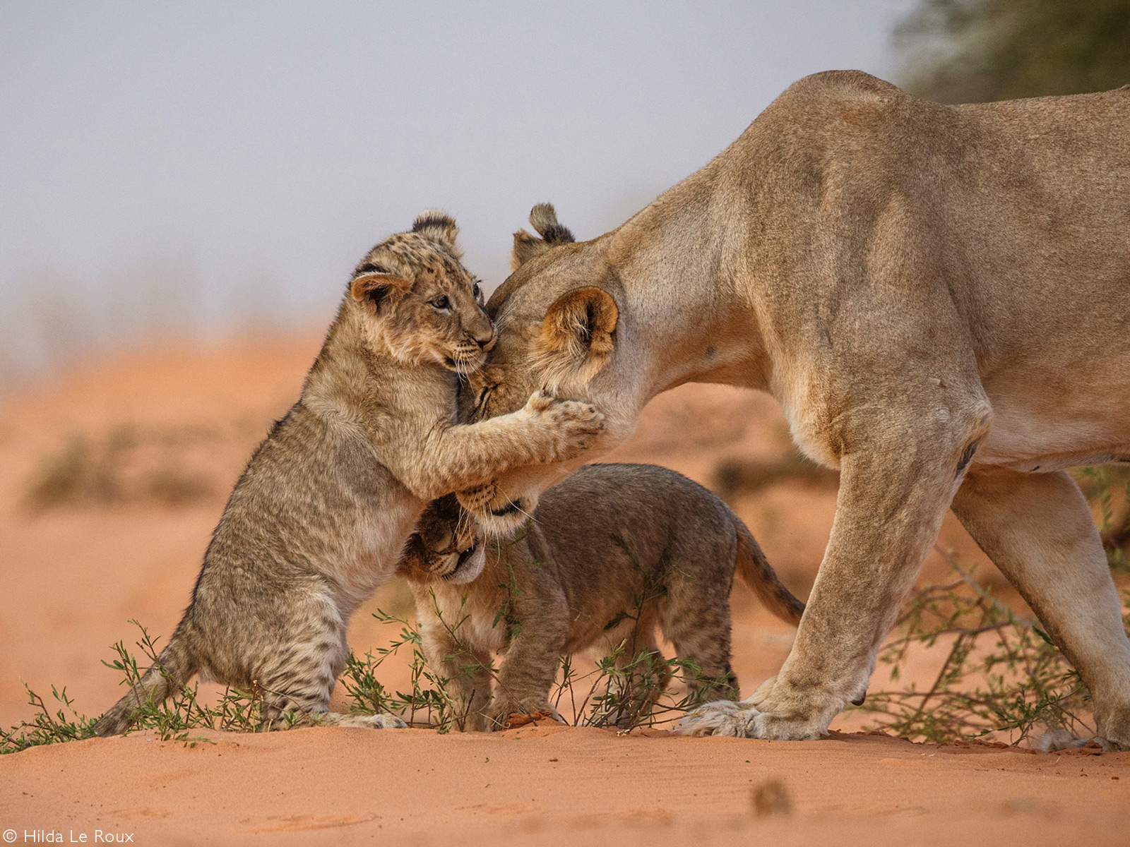Special moment between mother lion and her cubs. Kgalagadi Transfrontier Park, South Africa © Hilda Le Roux