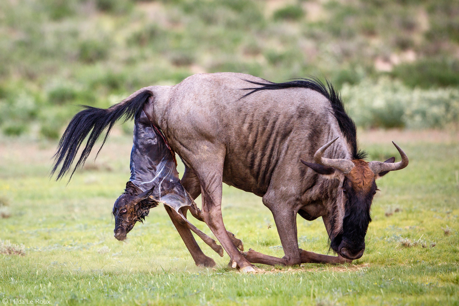 Wildebeest giving birth. Kgalagadi Transfrontier Park, South Africa © Hilda Le Roux