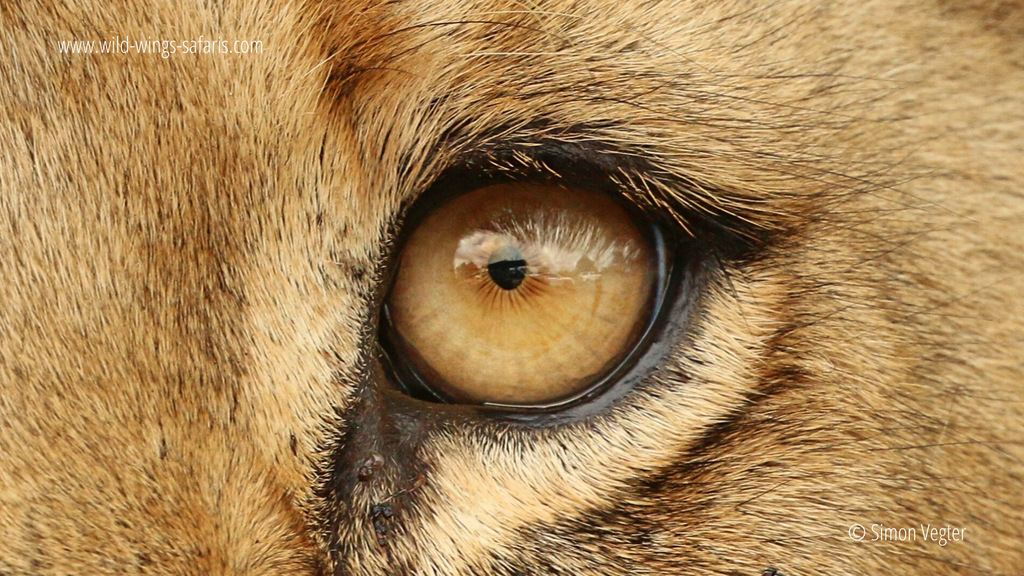 Up close of a lion's eye