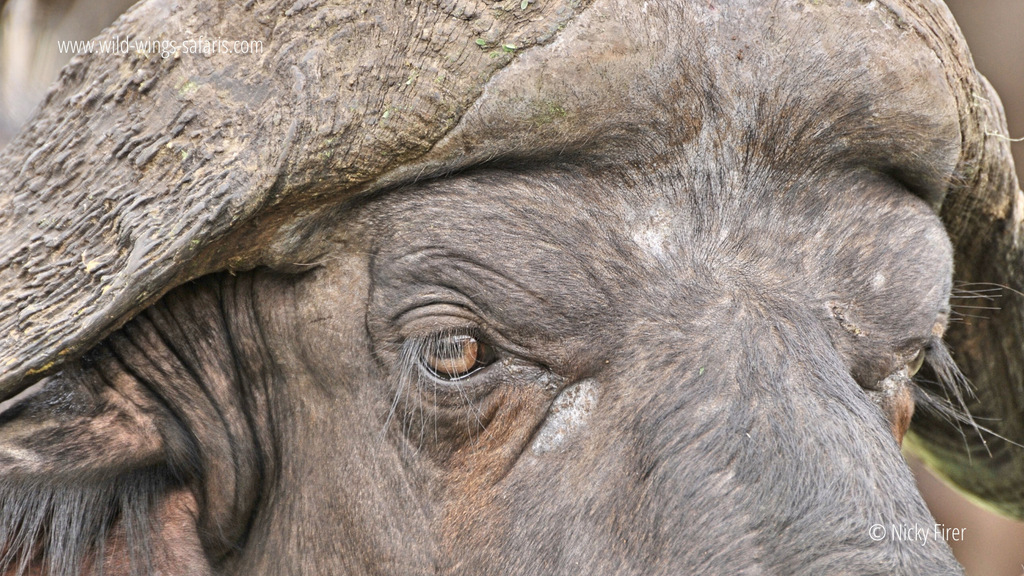 Up close of buffalo, buffalo's eye