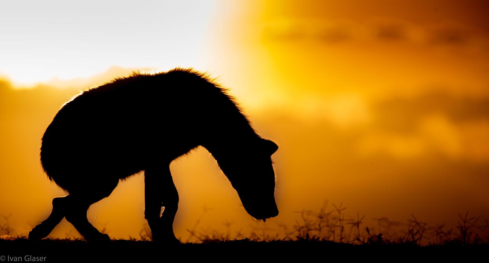 Hyena at sunset. Maasai Mara National Reserve, Kenya © Ivan Glaser