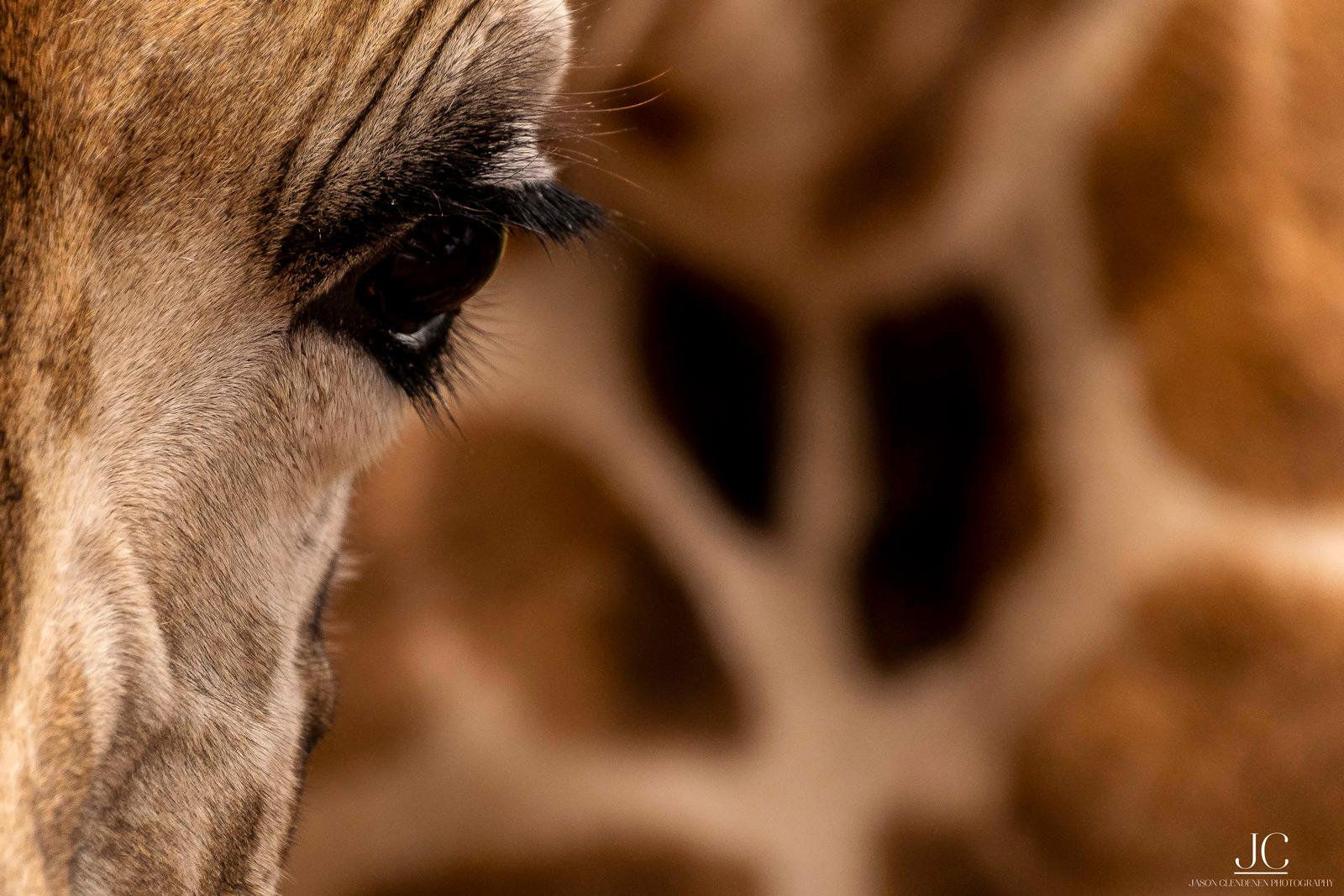 A giraffe close up. Maasai Mara National Reserve, Kenya © Jason Clendenen