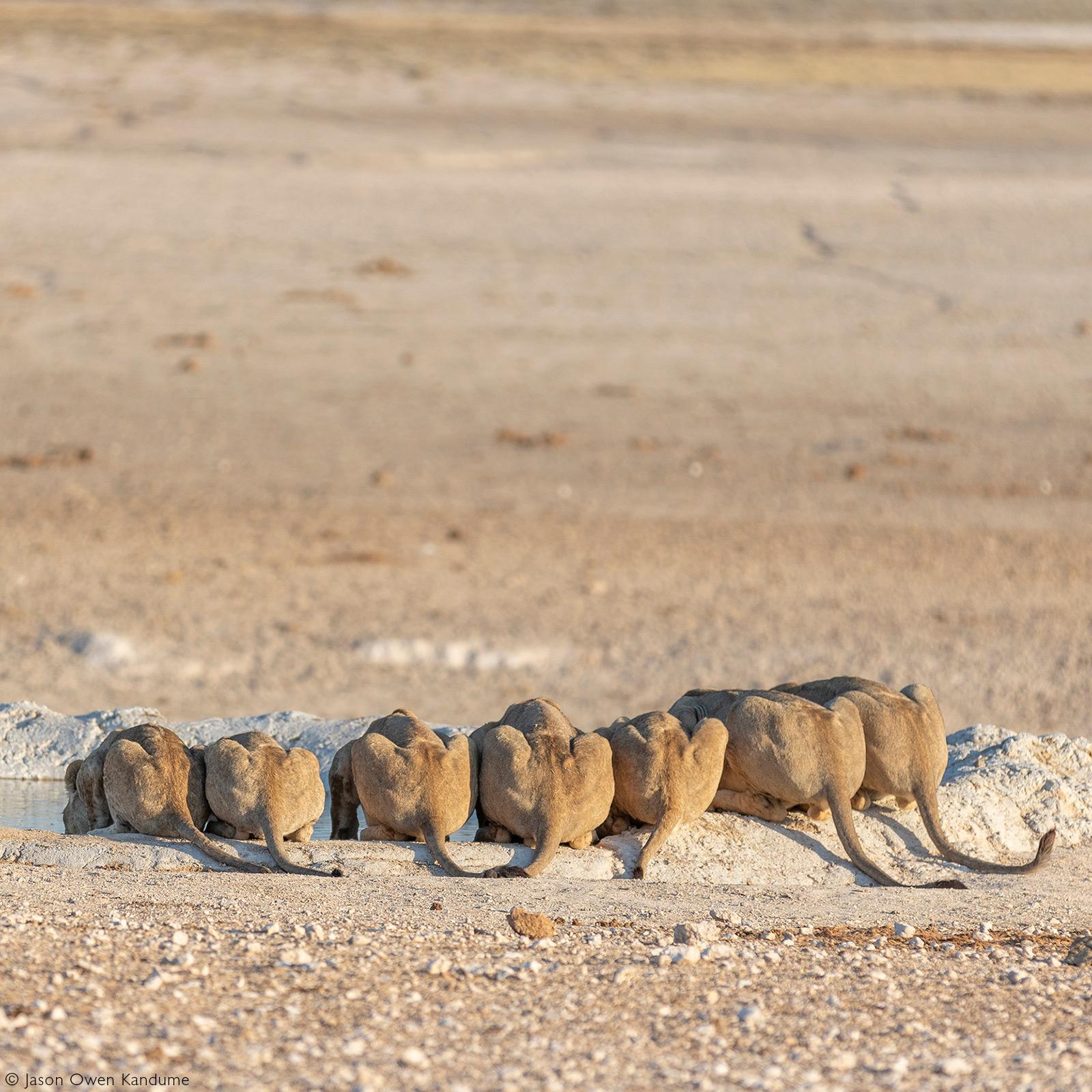 A lion pride take a drink at a waterhole. Etosha National Park, Namibia © Owen Jason Kandume