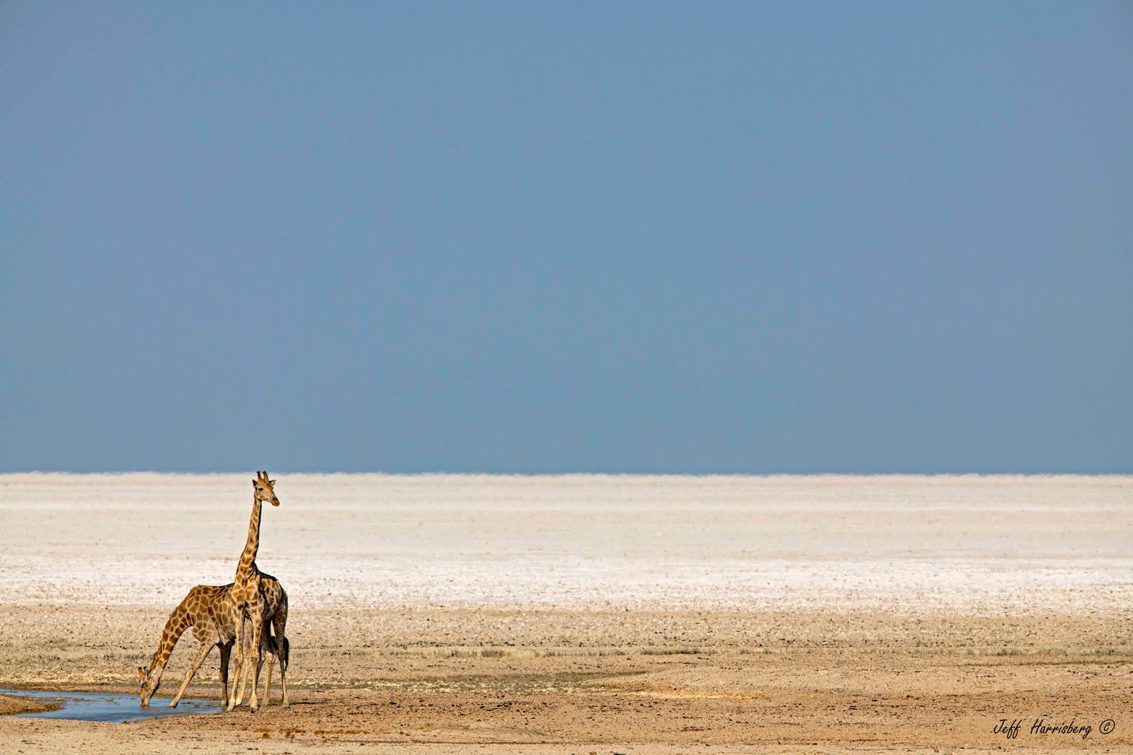 Giraffes at a small waterhole. Etosha National Park, Namibia © Jeff Harrisberg