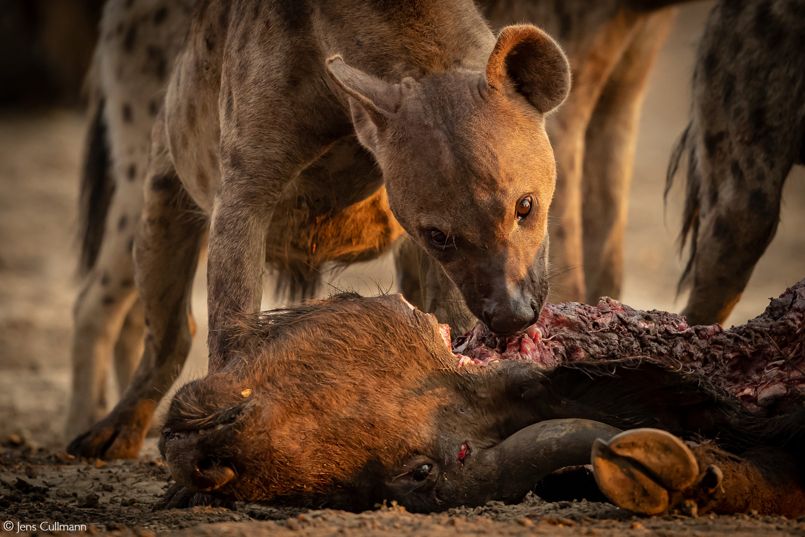 A spotted hyena feeds on a buffalo. The buffalo was killed by lions, which where chased away by the hyenas. Mana Pools National Park, Zimbabwe © Jens Cullmann