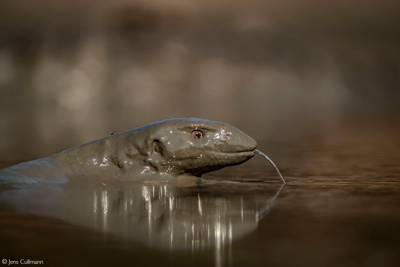 Monitor lizard looking out of the mud. Mana Pools National Park, Zimbabwe © Jens Cullmann