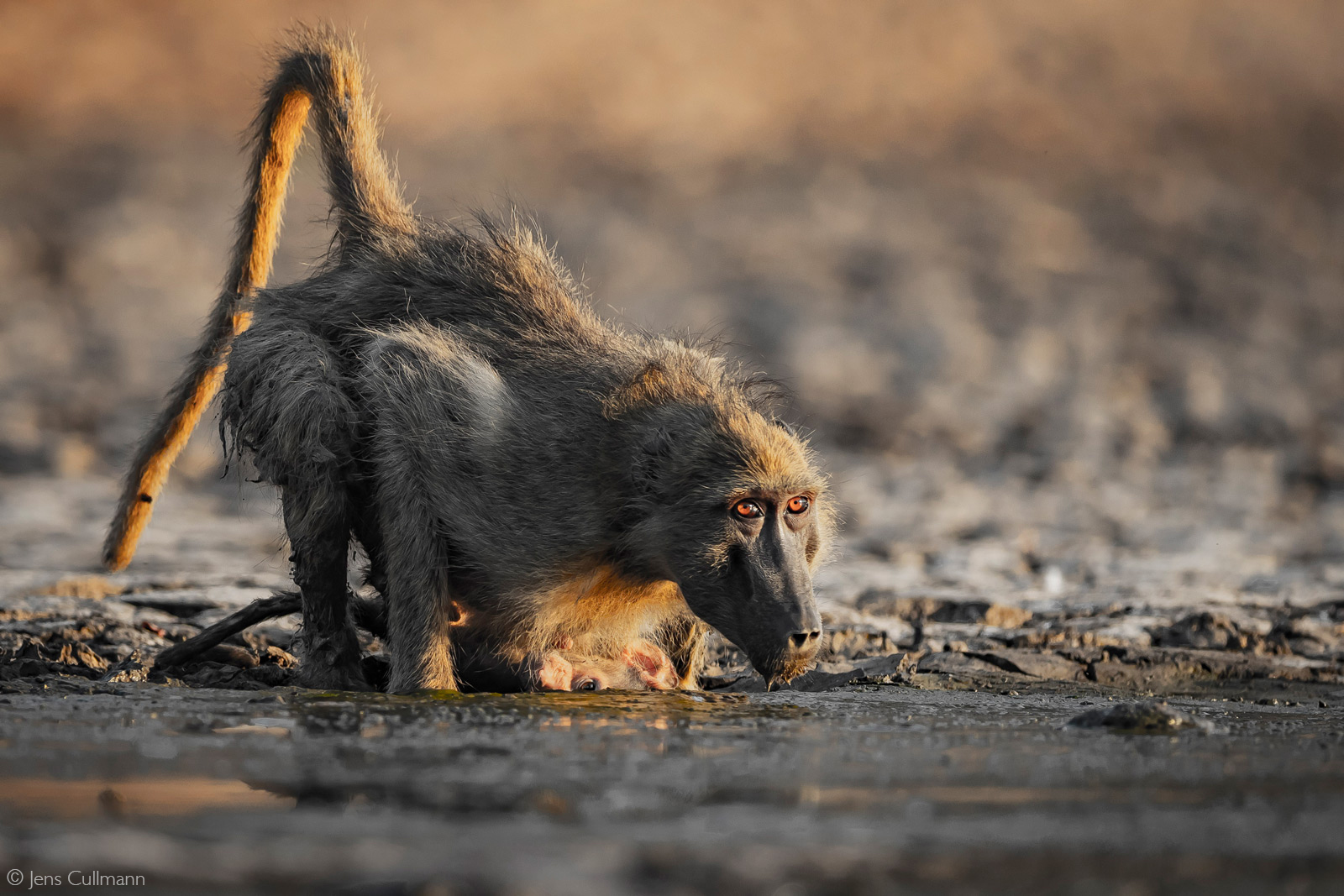 A mother baboon drinks at what's left at Long Pool. The head of the baby looks like it is in the mud, but actually there is a hollow of dried mud behind the water where its head is. Mana Pools National Park, Zimbabwe © Jens Cullmann