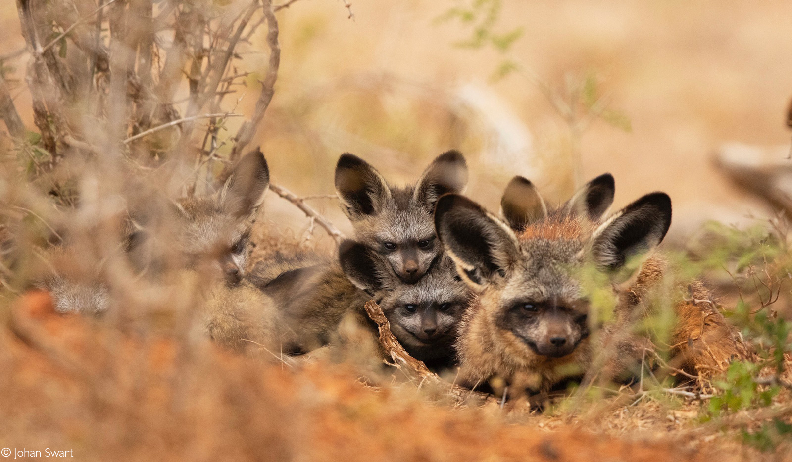 Family of bat-eared foxes. Addo Elephant National Park, South Africa © Johan Swart