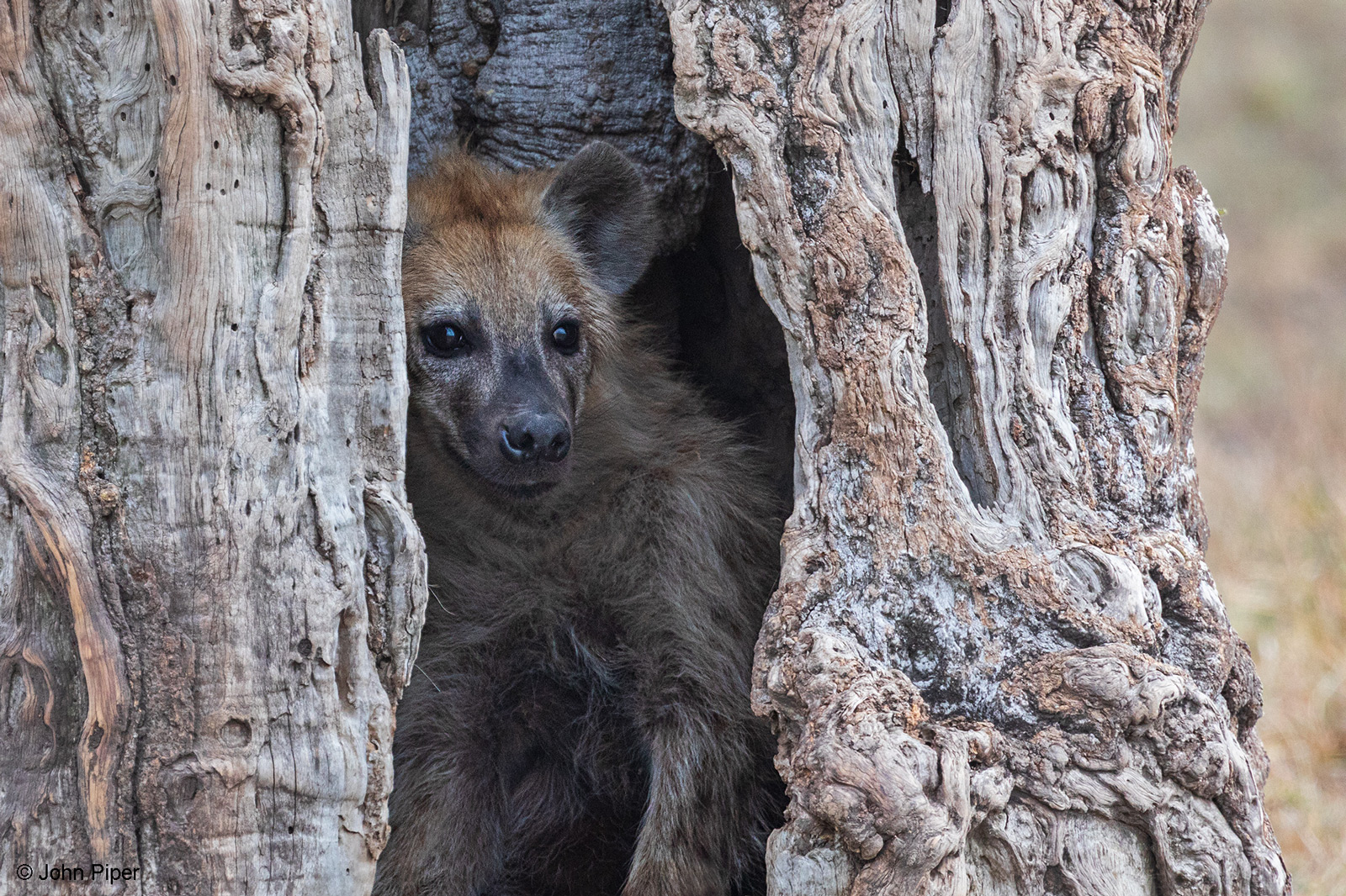 A spotted hyena takes cover inside the hollow trunk of a large tree. Maasai Mara National Reserve, Kenya © John Piper