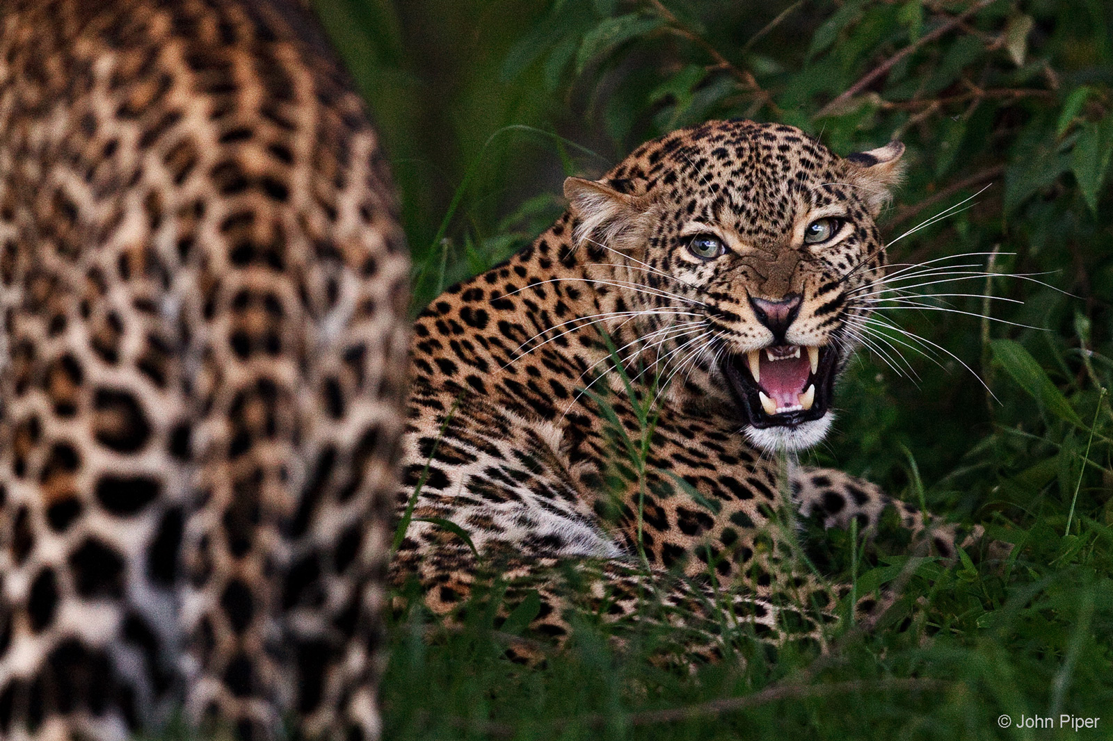 A female leopard makes very clear her displeasure at a male's advances. Mara North Conservancy, Kenya © John Piper