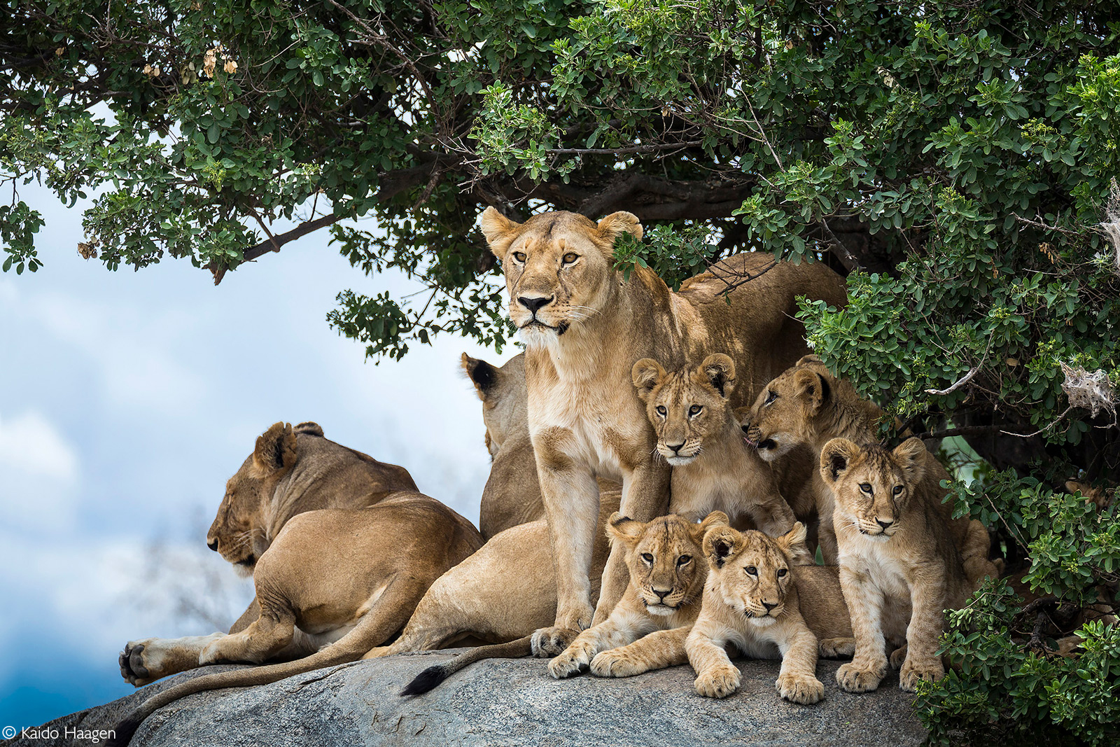 Lion pride with five cubs resting on rocks. Serengeti National Park, Tanzania © Kaido Haagen
