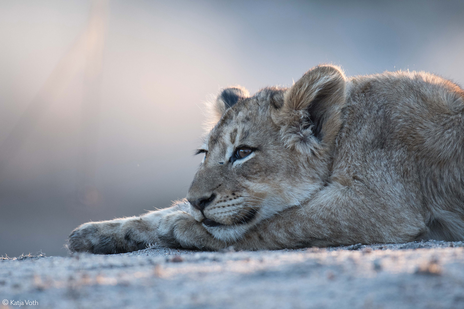 Lion cub resting in the late afternoon sun. Greater Kruger National Park, South Africa © Katja Voth