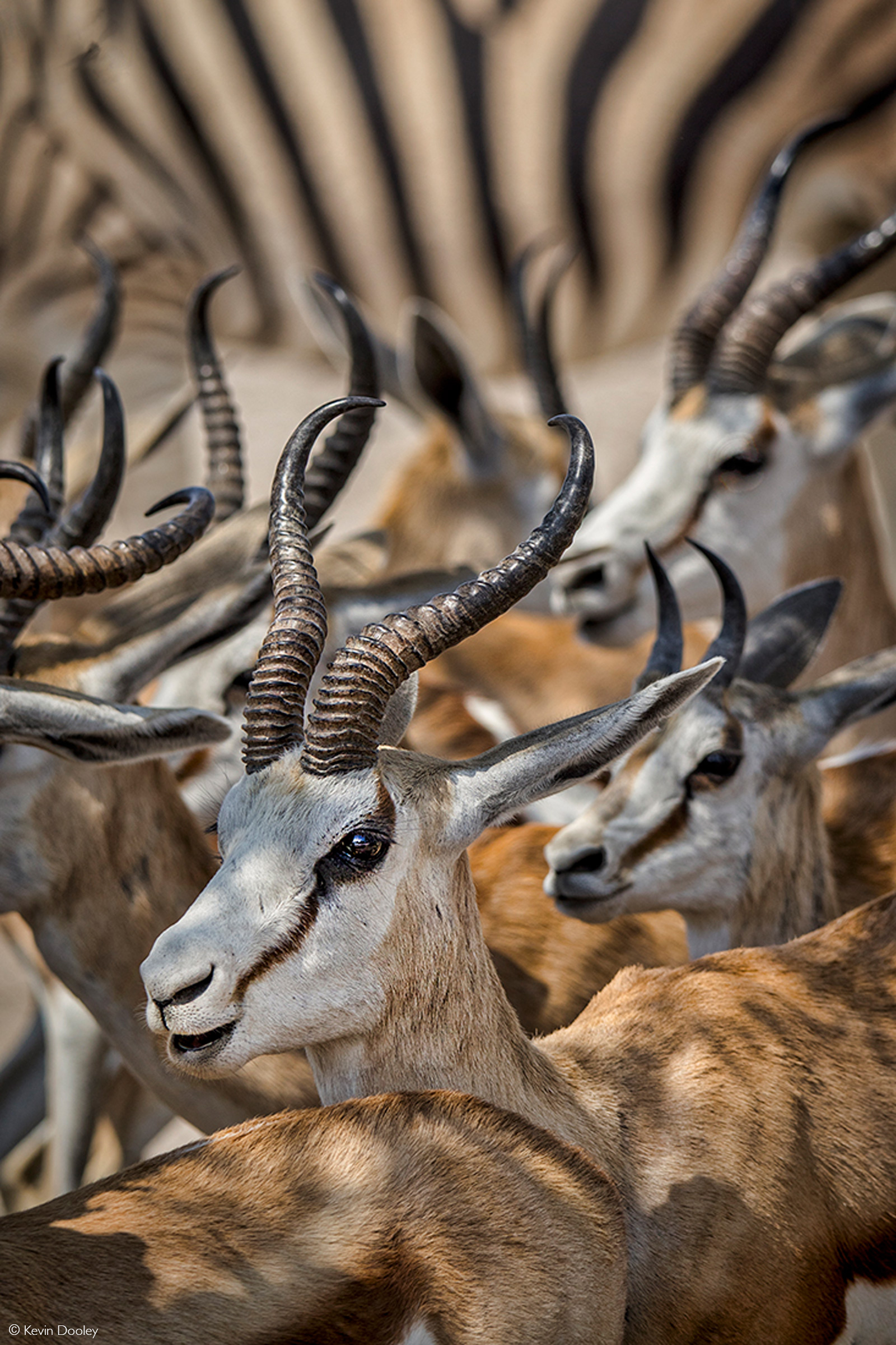 Springbok herd with zebra in the background. Etosha National Park, Namibia © Kevin Dooley