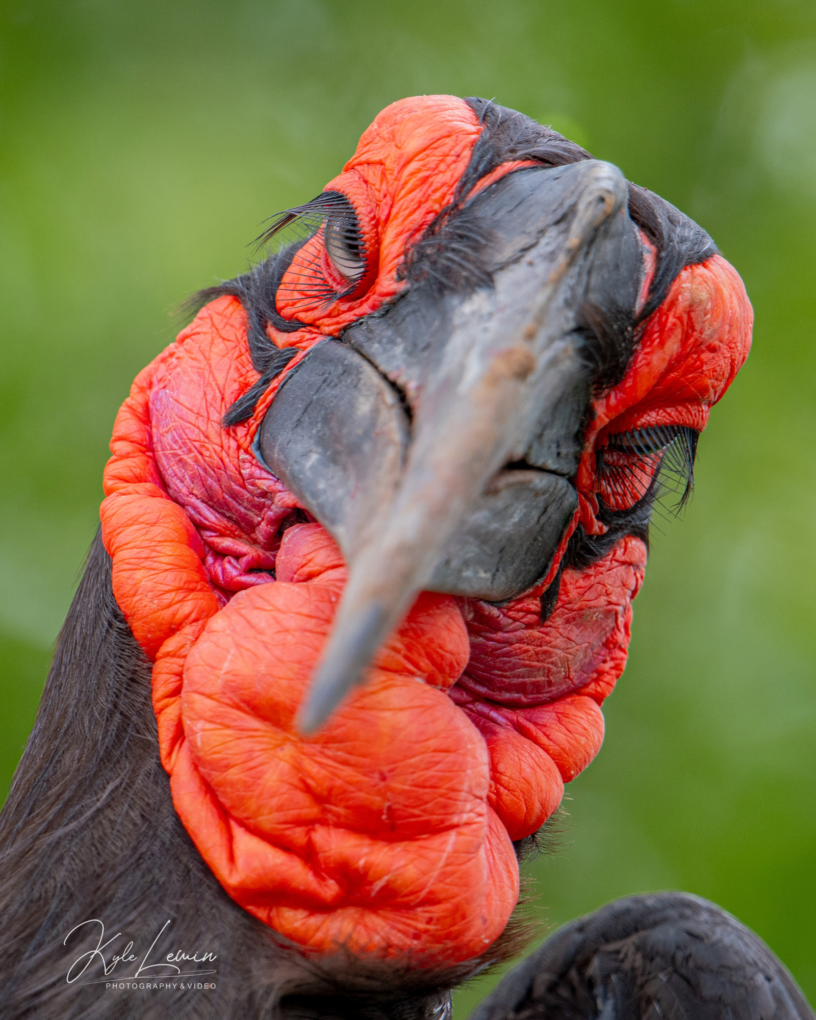 Up close with a southern ground-hornbill. Kruger National Park, South Africa © Kyle Lewin