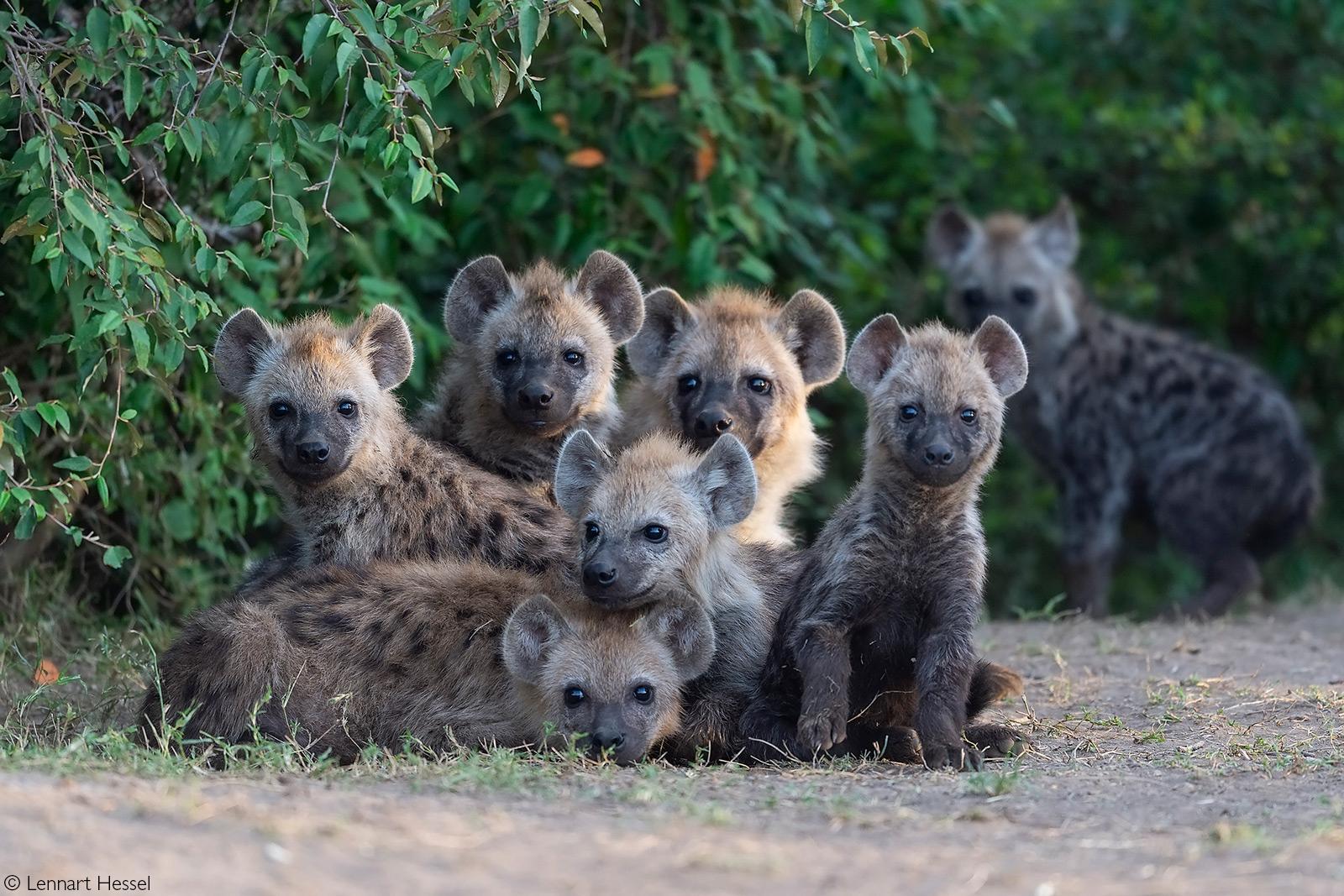 A pile of young spotted hyenas. Maasai Mara National Reserve, Kenya © Lennart Hessel