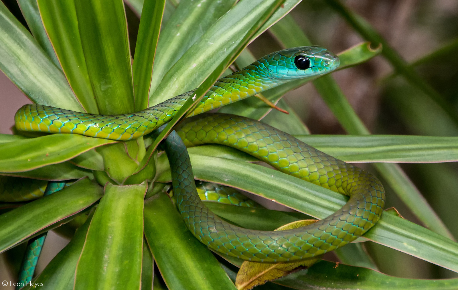 Boomslang (tree snake) makes a surprise visit to a garden at a holiday resort on the KwaZulu-Natal South Coast, South Africa © Leon Heyes
