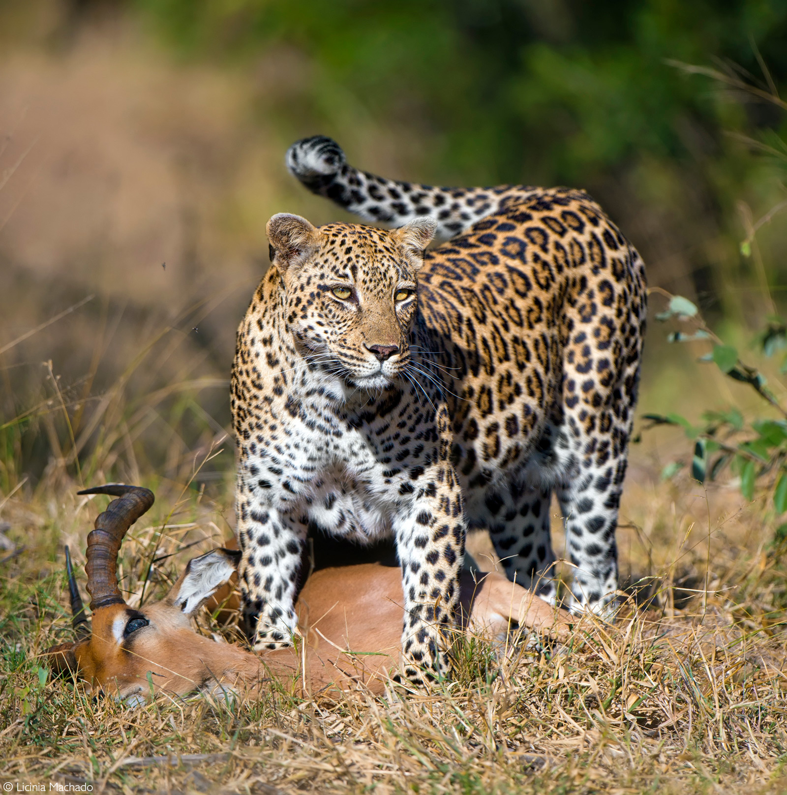Female leopard with impala kill. Kruger National Park, South Africa © Licinia Machado