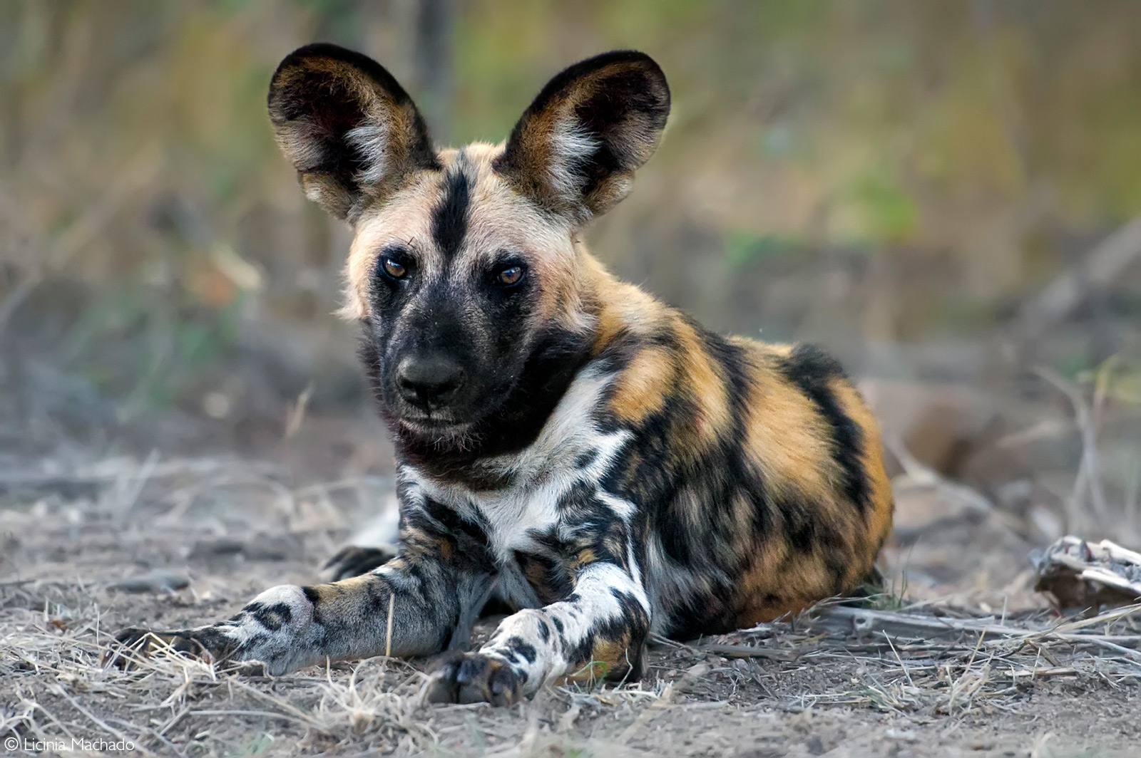 Portrait of a painted wolf (African wild dog). Kruger National Park, South Africa © Licinia Machado