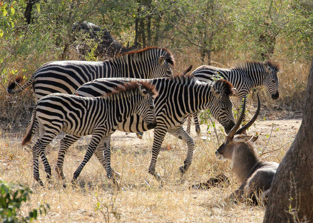 Zebras in Majete Wildlife Reserve, Malawi nature