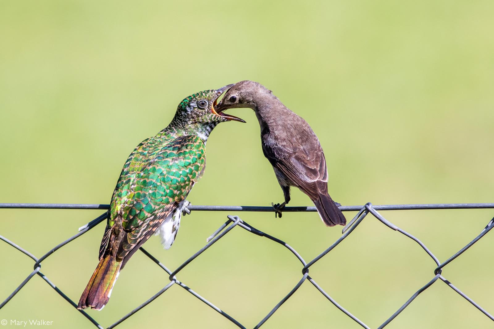 Klaas's cuckoo being fed by a female malachite sunbird. Riebeek Kasteel, South Africa © Mary Walker