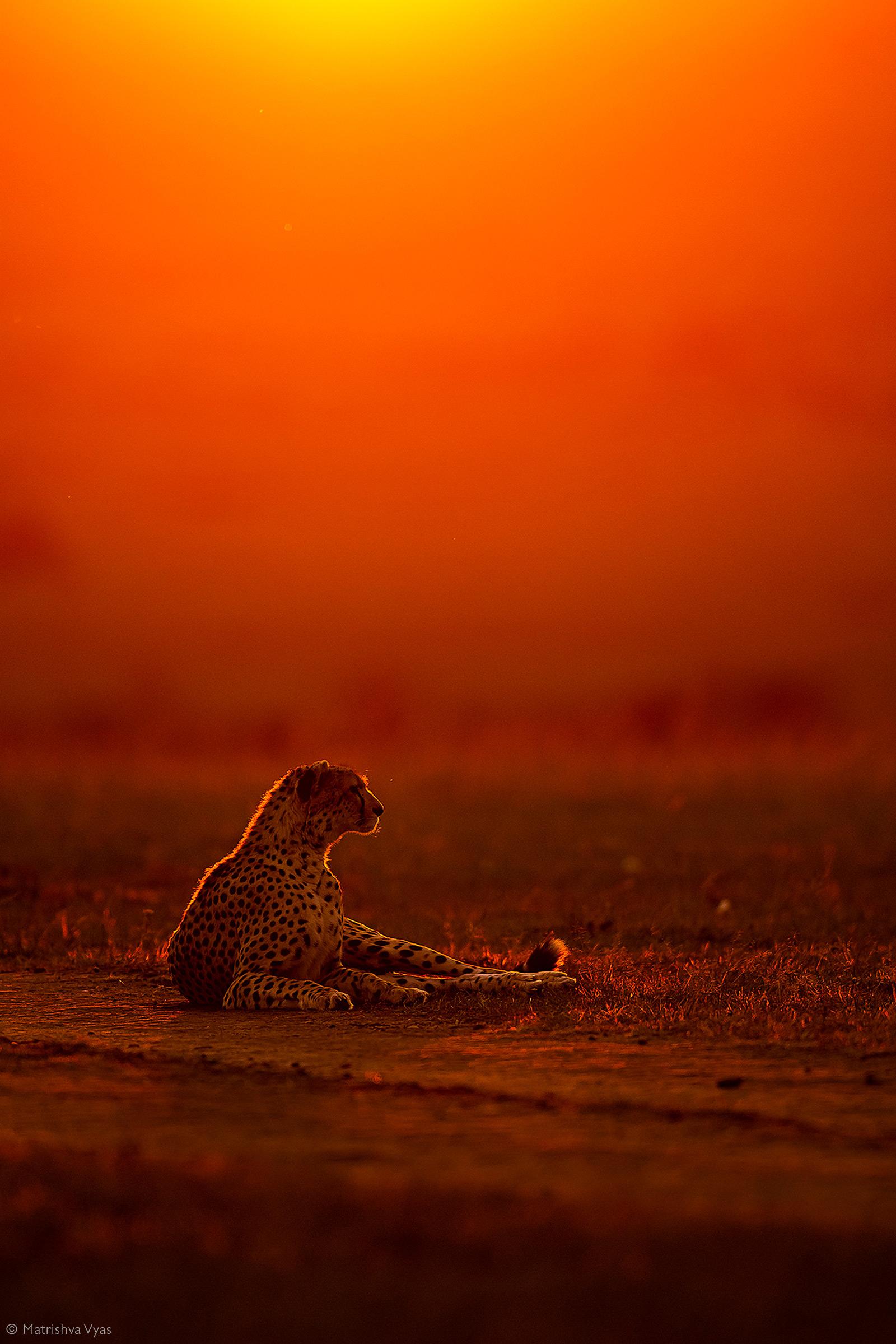 Cheetah photographed against the evening sky. Maasai Mara National Reserve, Kenya © Matrishva Vyas