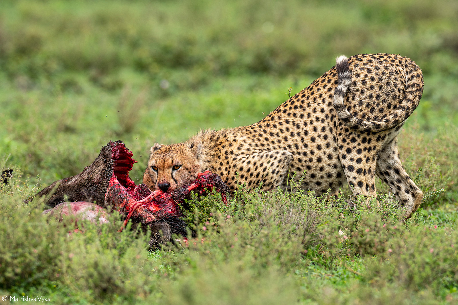 Cheetah feasting on a wildebeest kill. Ndutu, Ngorongoro Conservation Area, Tanzania© Matrishva Vyas
