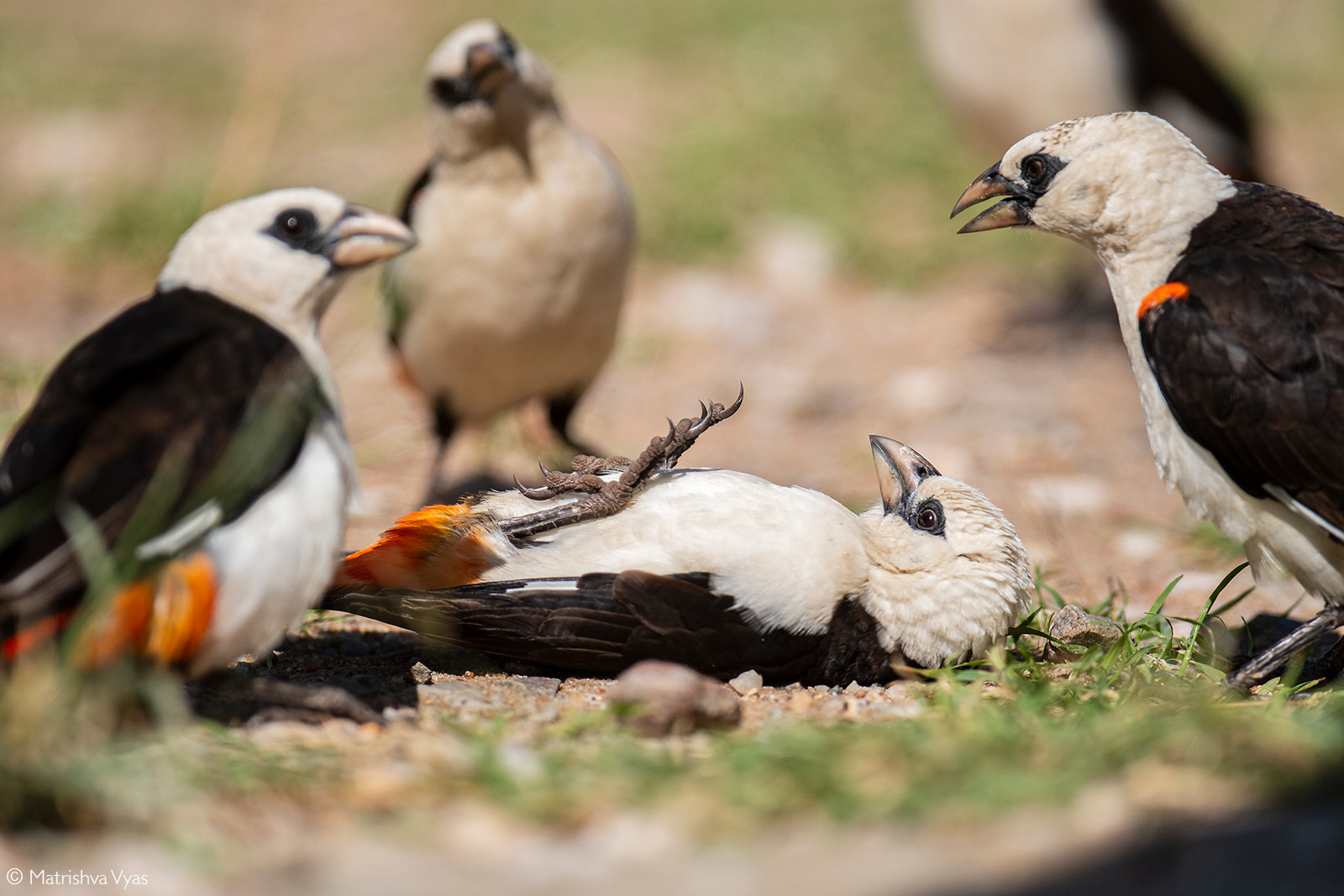 White-headed buffalo weaver lies in a defensive pose after a scuffle amongst the flock. Serengeti National Park, Tanzania © Matrishva Vyas
