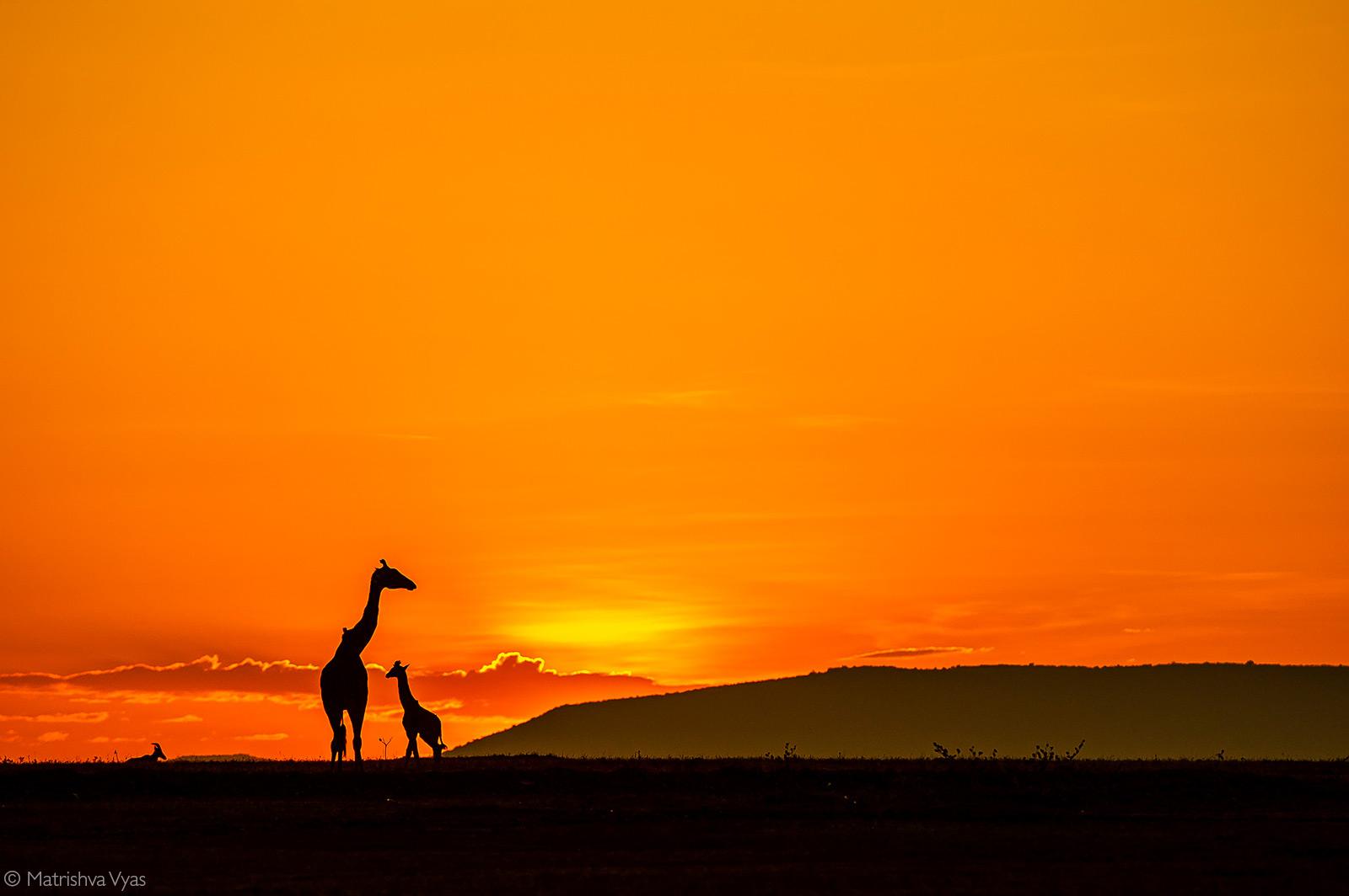 Silhouette of a giraffe mother and her baby. Maasai Mara National Reserve, Kenya © Matrishva Vyas