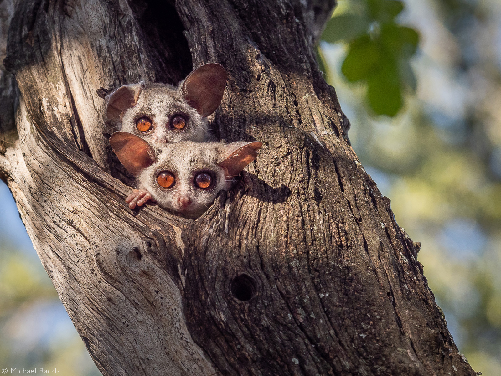 Lesser bushbabies peek through a hole in a tree. Thornybush Private Game Reserve , South Africa © Michael Raddall
