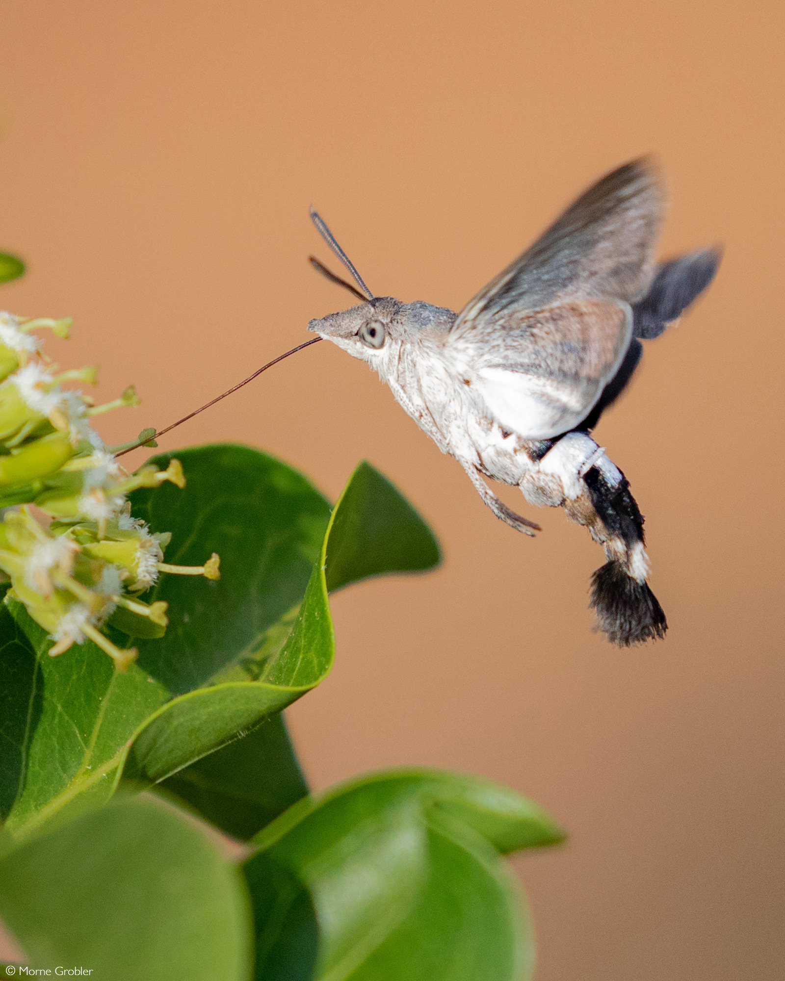 African hummingbird hawk-moth drinking nectar from a flower. Kruger National Park, South Africa © Morne Grobler