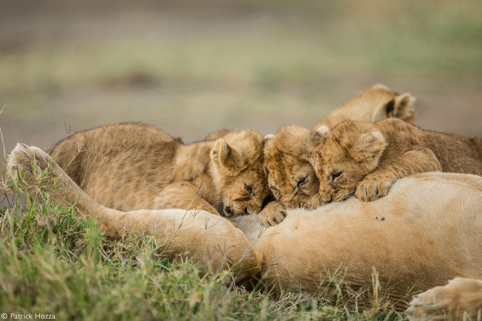 Lion cubs suckling from their mother. Ndutu, Ngorongoro Conservation Area, Tanzania © Patrick Hozza