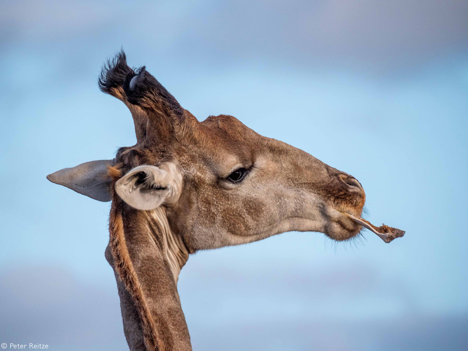 A giraffe bull gets some additional calcium by chewing a bone. Sibuya Game Reserve, South Africa © Peter Reitze