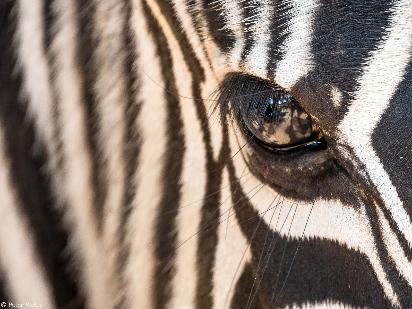 Up close with a zebra. Nelspruit, South Africa © Peter Reitze