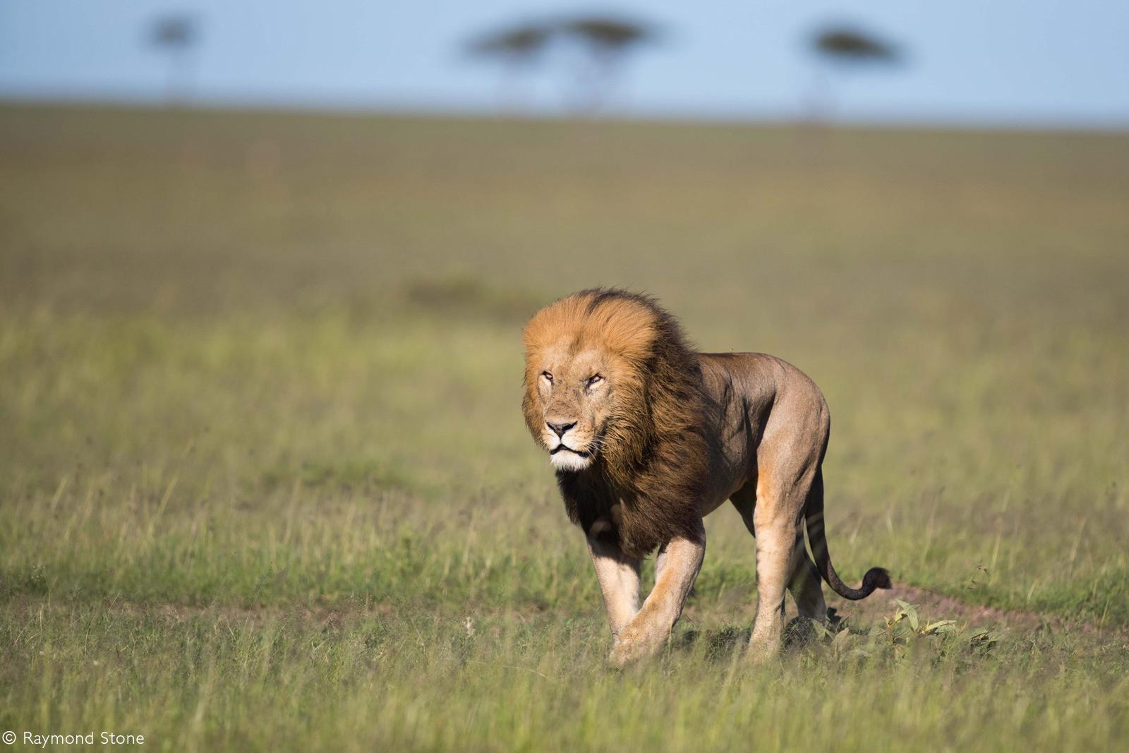 Male lion leading his pride. Maasai Mara National Reserve, Kenya © Raymond Stone
