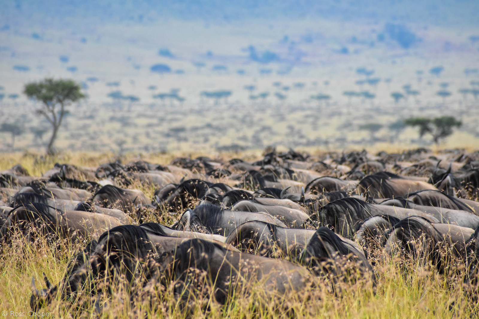 An endless sea of wildebeest during the Great Migration. Maasai Mara National Reserve, Kenya © Ross Cooper
