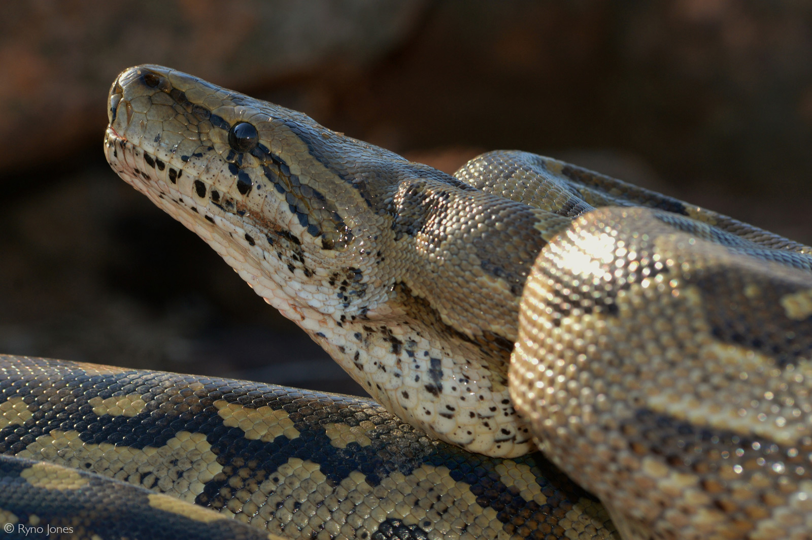 African rock python. Lephalale, Limpopo Province, South Africa © Ryno Jones