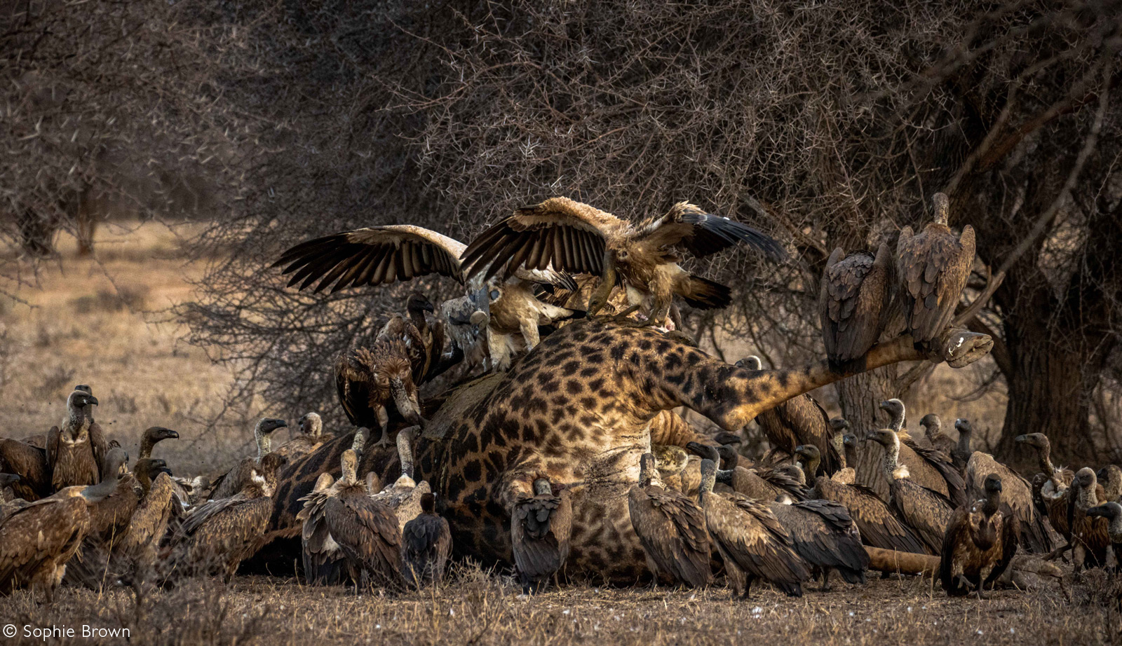 Vultures descend to make the most of a large giraffe carcass. Greater Kruger National Park, South Africa © Sophie Brown