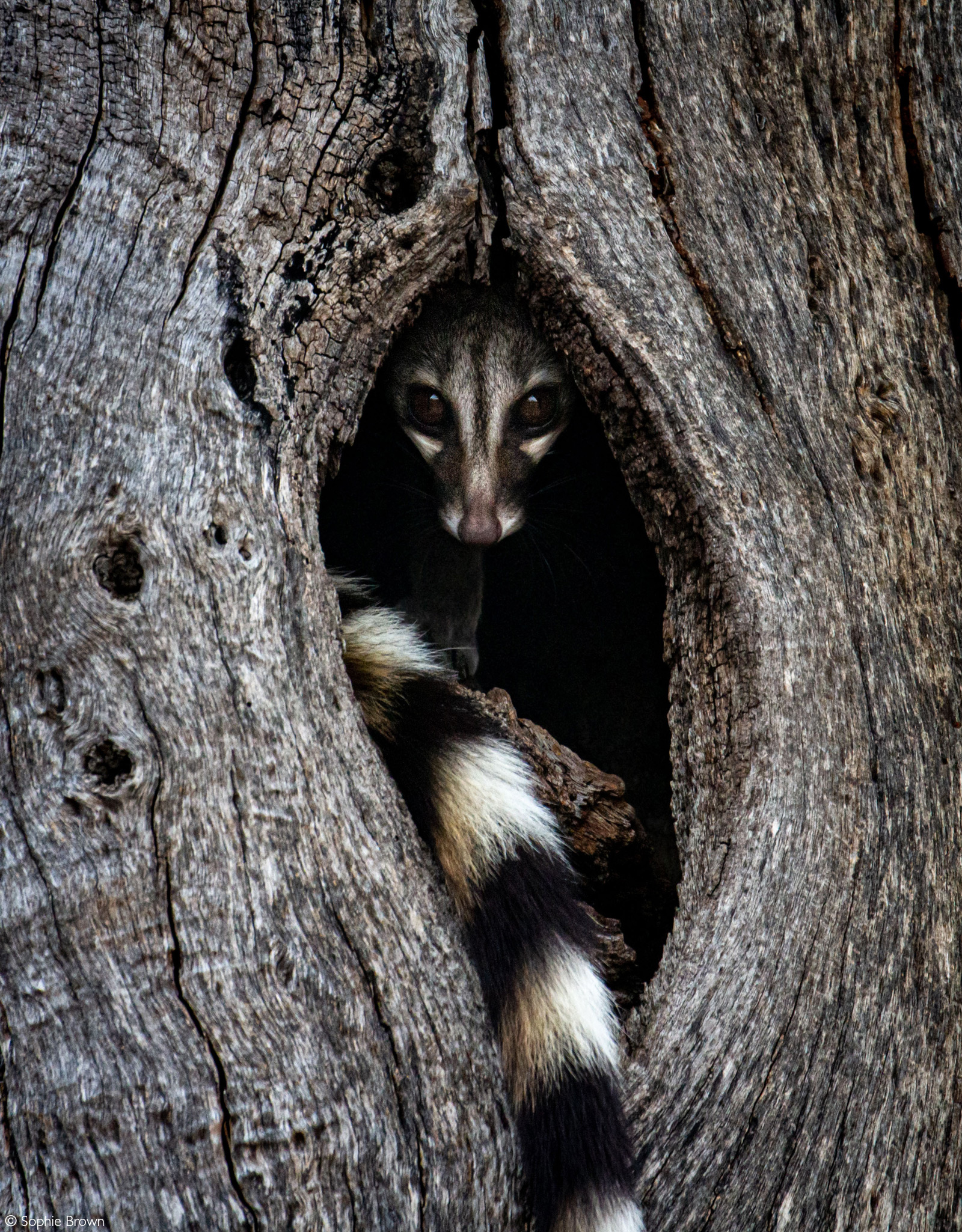 A genet takes a quick look out of a tree it has chosen to sleep in for the day. Klaserie Private Nature Reserve, South Africa © Sophie Brown