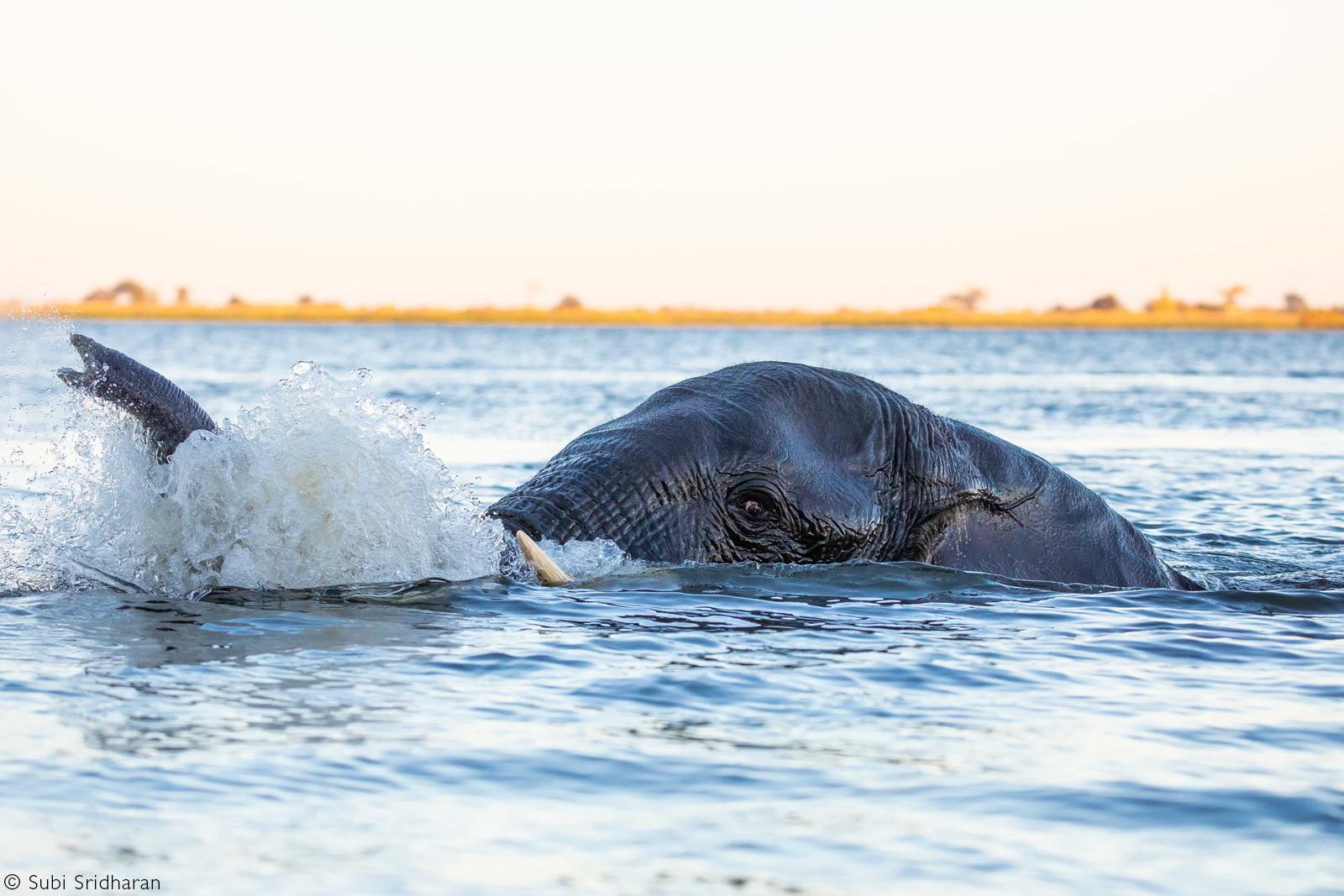 An elephant takes a swim. Chobe National Park, Botswana © Subi Sridharan
