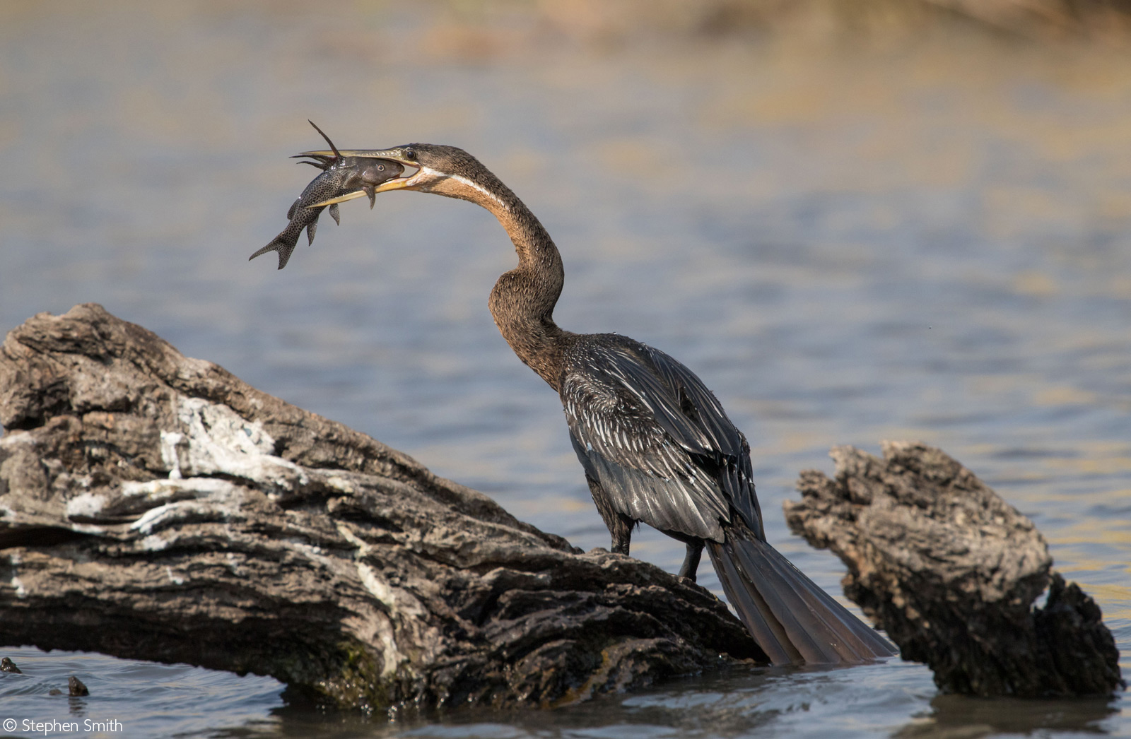 An African darter catches a fish on the Chobe River. Chobe National Park, Botswana © Stephen Smith