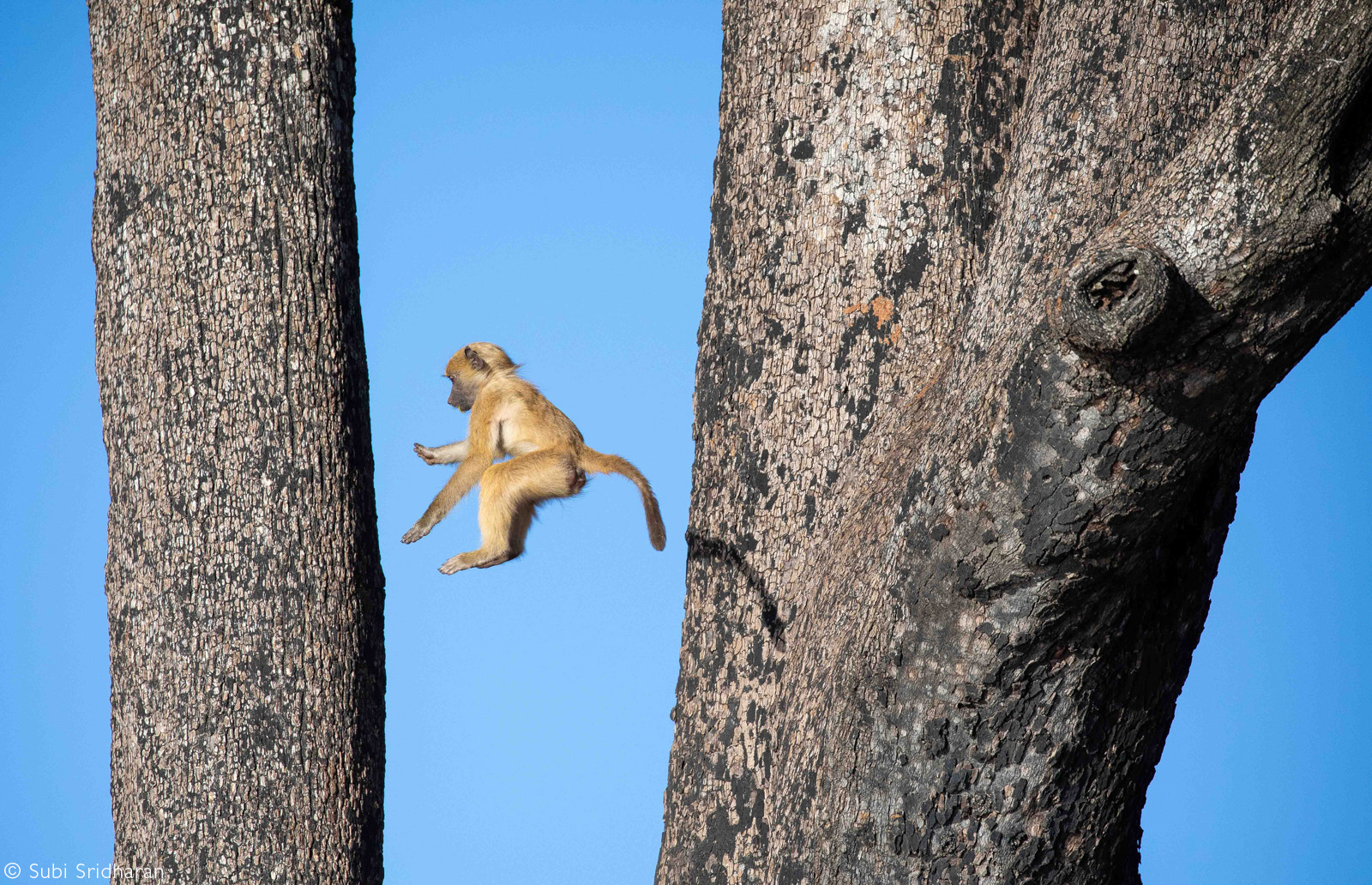 A young baboon takes a leap in a tree. Chobe National Park, Botswana © Subi Sridharan