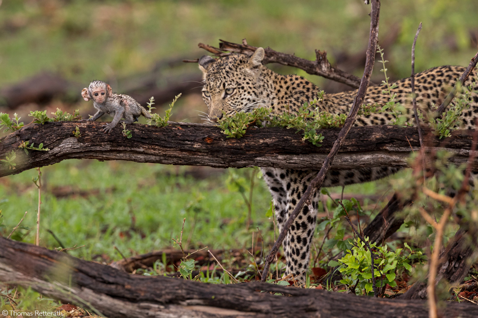 A leopard focuses on a baby vervet monkey after it was accidentaly left behind by the mother after the troop escaped the big cat. Okavango Delta, Botswana © Thomas Retterath