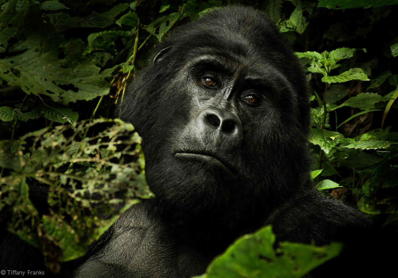Behati, a silverback mountain gorilla, takes a break while feeding. Bwindi Impenetrable National Park, Uganda © Tiffany Franks